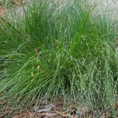 Carex appalachica Native Sedge