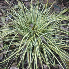 Carex oshimensis 'Evergold' Sedge