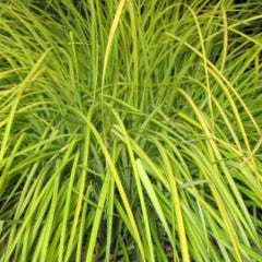 Carex elata 'Aurea' Bowles Golden Sedge