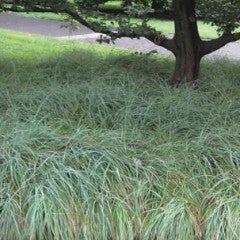Carex flacca 'Blue Zinger' Blue Sedge