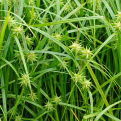 Carex grayi Gray's sedge