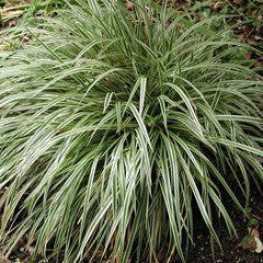 Carex 'Silver Sceptre' Sedge