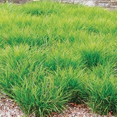 Carex muskingumensis Palm Sedge