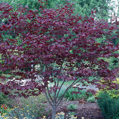 Cercis canadensis 'Forest Pansy' Redbud