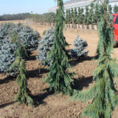Chamaecyparis nootkatensis 'Green Arrow' Weeping Alaskan Cedar