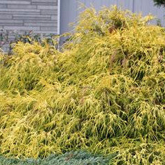 Chamaecyparis pisifera 'Aurea' Japanese False Cypress