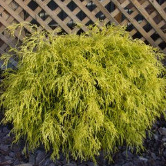 Chamaecyparis pisifera Golden Mop Japanese False Cypress