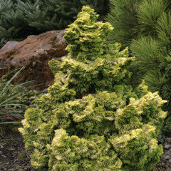 Chamaecyparis pisifera 'Nana Lutea' Dwarf Japanese False Cypress