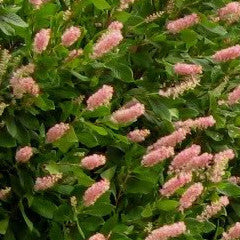 Clethra alnifolia 'Ruby Spice' Summersweet