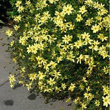 Coreopsis verticillata 'Moonbeam' Threadleaf Coreopsis