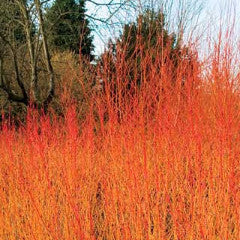 Cornus sericea Arctic Fire™ 'Farrow' Red Twig Dogwood