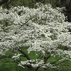 Cornus florida 'Cherokee Princess' White Dogwood
