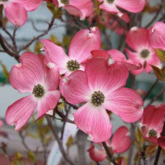 Cornus florida 'Comco No1' Cherokee Brave Dogwood