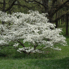 Cornus florida Flowering Dogwood