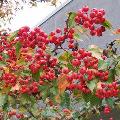 Crataegus phaenopyrum Washington Hawthorn