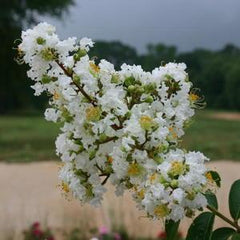 Lagerstroemia 'Sarah's Favorite' White Hardy Crapemyrtle