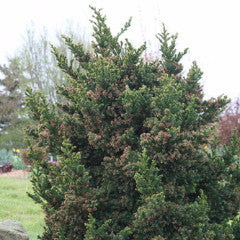 Cryptomeria japonica 'Black Dragon' Compact Japanese Cedar