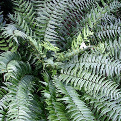 Cyrtomium fortunei Fortune's Holly Fern
