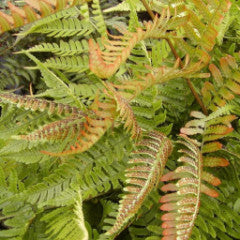 Dryopteris erythrosora 'Brilliance' Autumn Fern