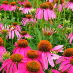 Echinacea purpurea 'Ruby Star' Purple Coneflower