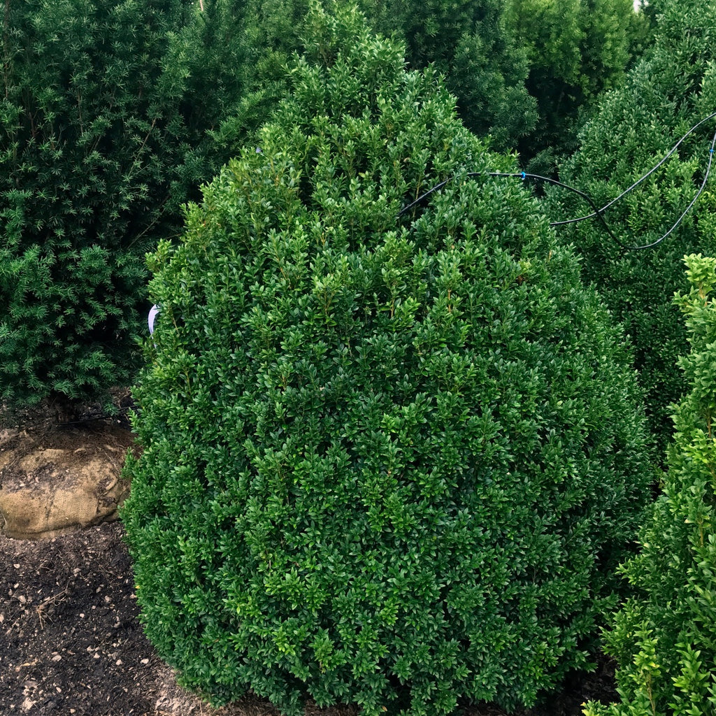 Buxus sempervirens Pyramidal Form American Boxwood