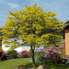 Gleditsia triacanthos inermis 'Shademaster' Honey Locust