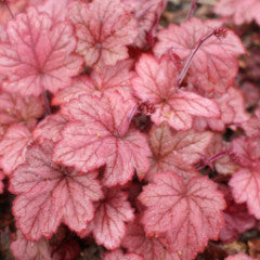 Heuchera 'Georgia Peach' Coral Bell