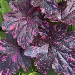 "Heuchera ""Midnight Rose"" Coral Bell"