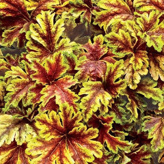 Heucherella 'Gold Zebra'