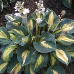 Hosta 'Dream Weaver'