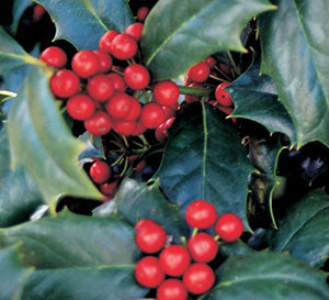 Ilex 'Robin Red' Holly