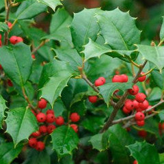 Ilex opaca 'Greenleaf' American holly