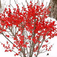 Ilex verticillata 'FarrowBP' Berry Poppins™ Winterberry Holly