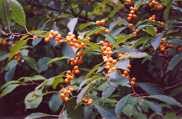 Ilex verticillata 'Chrysocarpa' Yellow-berry Winterberry Holly