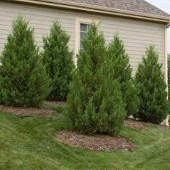 Juniperus chinensis 'Robusta Green' Robusta Green Upright Juniper