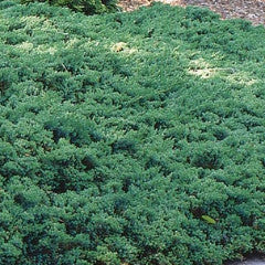 Juniperus Procumbens Nana 'Green Mound'