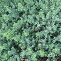 Juniperus conferta 'Blue Pacific' Shore Juniper