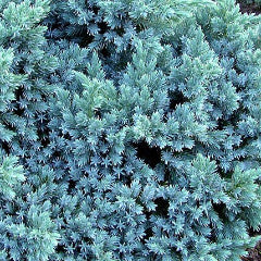 Juniperus squamata 'Blue Star' Single Seed Juniper