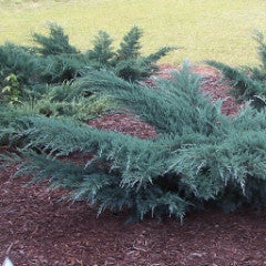 Juniperus virginiana 'Grey Owl' Juniper