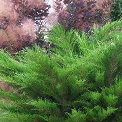 Juniperus × pfitzeriana 'Sea Green' Juniper