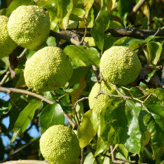 Maclura pomifera 'White Shield' Osage Orange