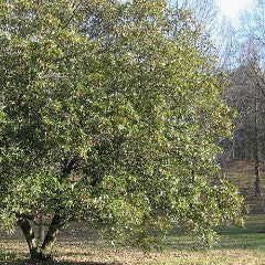 Magnolia virginiana 'Henry Hicks' Sweetbay