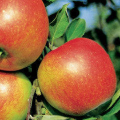 Malus 'Braeburn' Apple