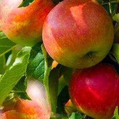Malus 'Cox Orange Pippen' Apple