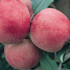 Malus 'Fuji' Apple