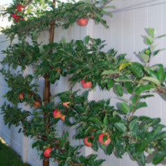 Malus 'Liberty' Dwarf Apple Espalier