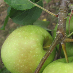 Malus 'Newtown Pippin' Apple