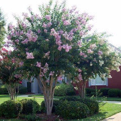 Lagerstroemia Indica Muskogee Crape Myrtle Kelly