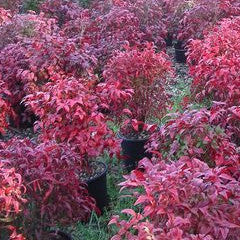 Nandina domestica 'Fire Power' Heavenly Bamboo