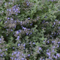Nepeta faassenii 'Cat's Meow' Catmint